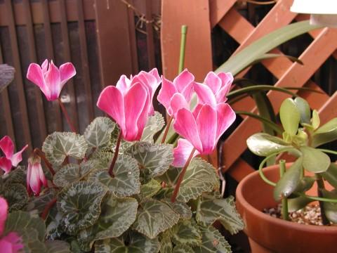 ガーデンシクラメン、綺麗に咲いてくれています