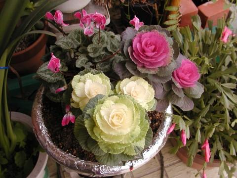 葉ボタンとガーデンシクラメン、お正月用の寄せ植え