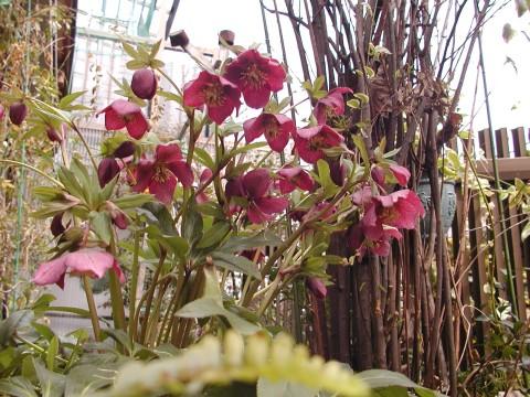 レンテンローズ、今年はたくさん咲いてくれました