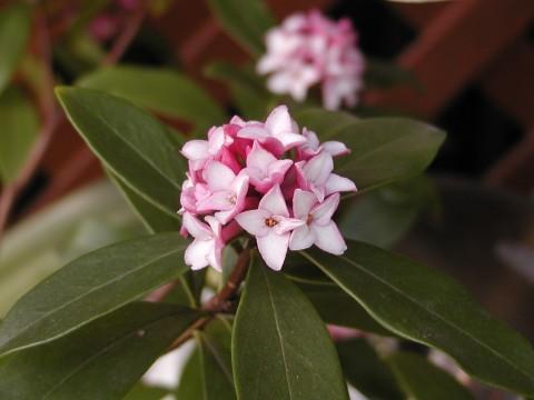 ジンチョウゲ、この花もすばらしい芳香です