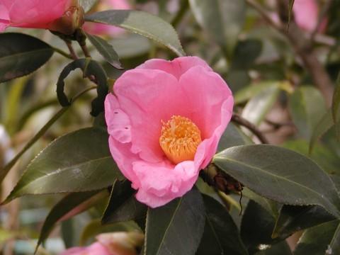 椿、花がボロボロなのはメジロが蜜を吸うせい