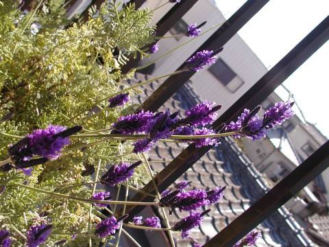 ピナータ・ラベンダー、前年の秋から咲き続けています