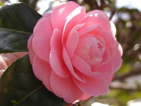 椿、八重咲きです
