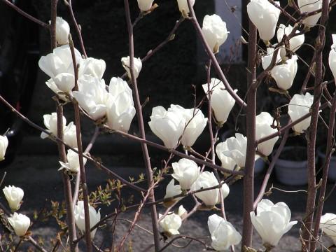 ハクモクレン、気温が上がって一気に開花しました