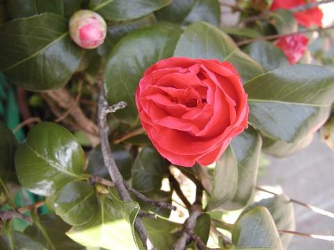 椿、これからどんどん咲いていきます
