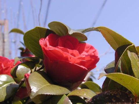 椿、高いところで咲くので撮影しにくいです