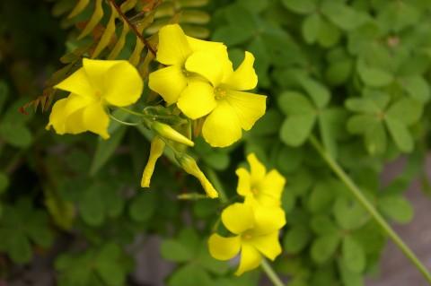 オオキバナカタバミ、地味な花ですが可愛いです
