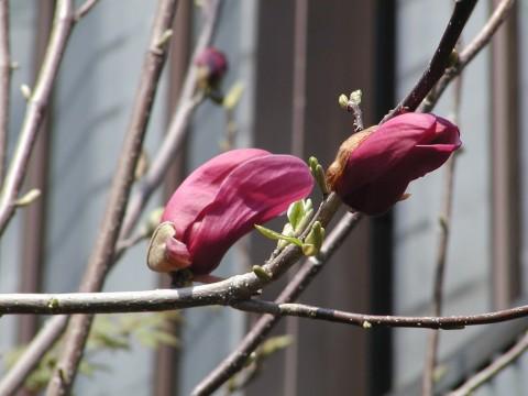 シモクレン、もうすぐ咲きそうです