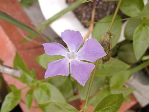 ツルニチニチソウ、これから夏中咲き続けます