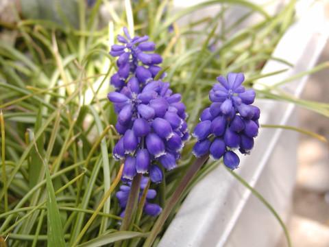ムスカリ、植えたばかりなので花はこれだけ