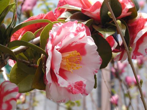 椿、咲き始めは赤が多かったですが今は白が多いです